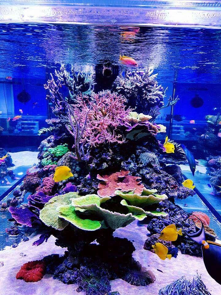 De 10 bedste id er inden for reef aquarium p pinterest for Beginner saltwater fish