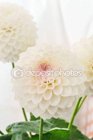dalie bianchi — Foto Stock © massimilianoranauro #82635856