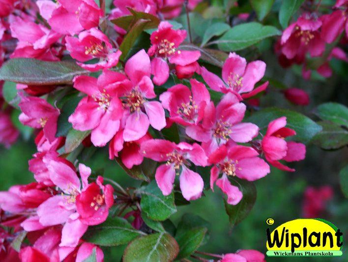 Malus 'Marjatta', prydnadsäppel. FinE-sort. Klarröda blommor som syns bra, röda bladtoppar. Höjd 2-4 m.