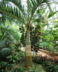 Hyophorbe verschaffeltii (Spindle Palm) - native to Mascarene Islands - grows to 7.6m