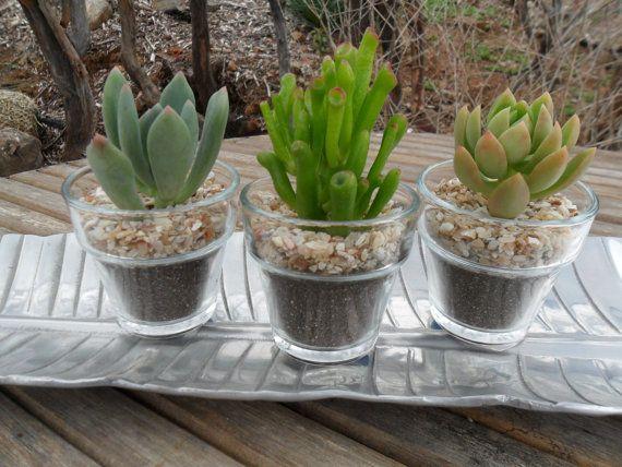 3 Plantes succulentes, plantés dans un Pot en verre jardin, Terrarium succulente, fait une grande faveur, jardin mariage