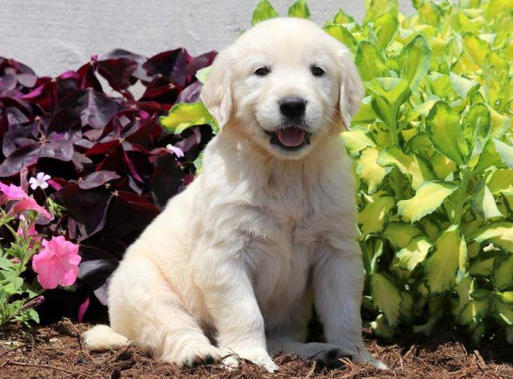 Hampton keystone puppies puppies for sale health