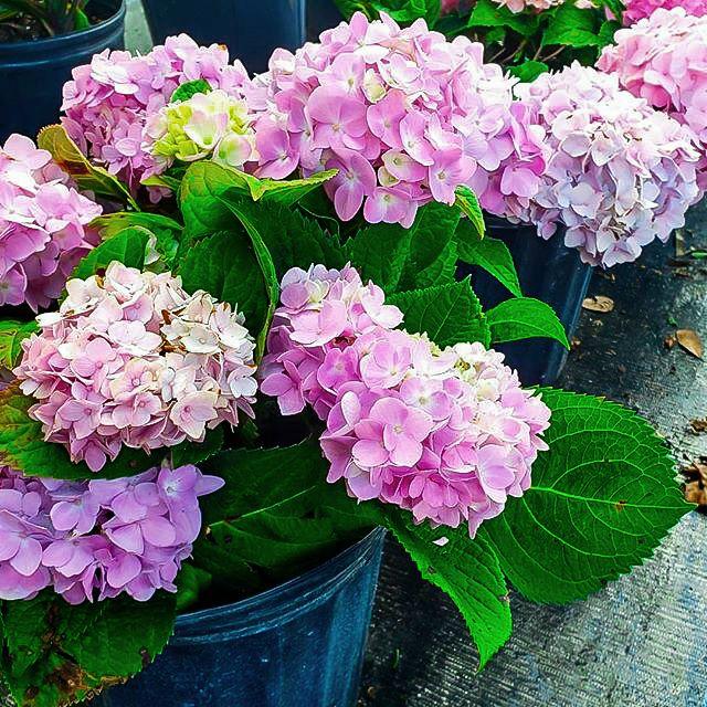 Hydrangea In 2020 Flowers For Sale Wholesale Flowers Hydrangea Colors