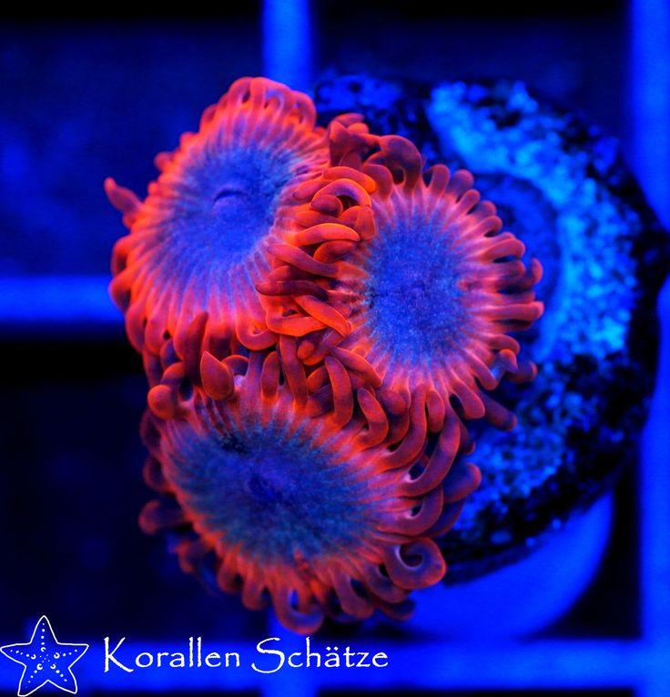 48 besten zoanthus zoas krustenanemonen bilder auf pinterest fische korallen und aquarien. Black Bedroom Furniture Sets. Home Design Ideas