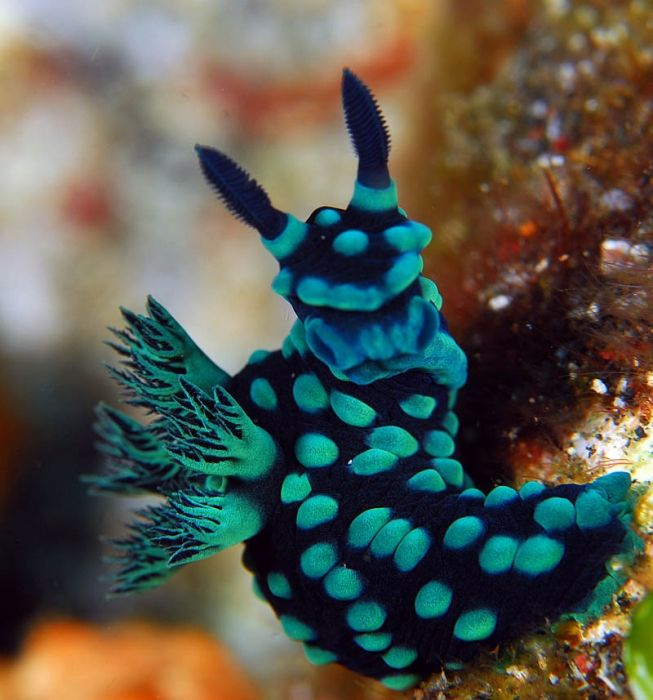 Nudibranchs are a special piece of underwater artwork. They come in myriad shapes, colors and sizes.