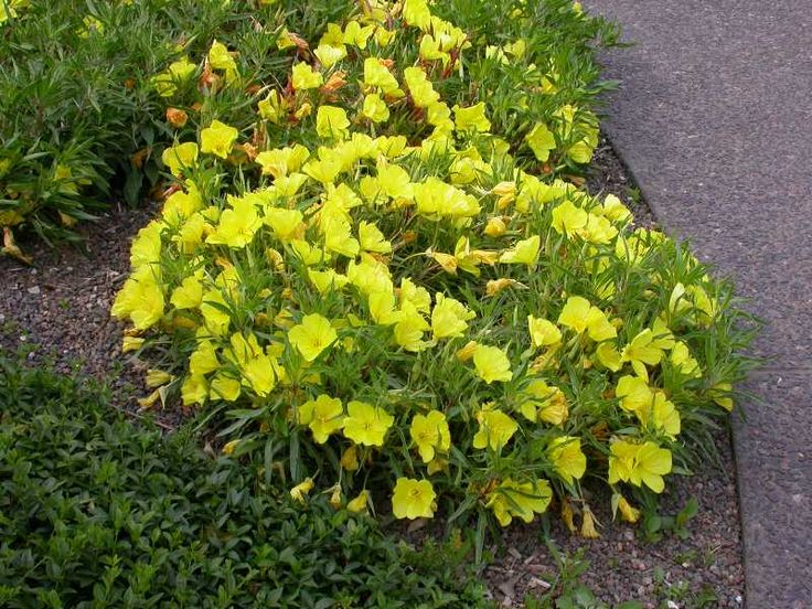 Oenothera macrocarpa common name missouri primrose low - How to plant a flower garden for dummies ...