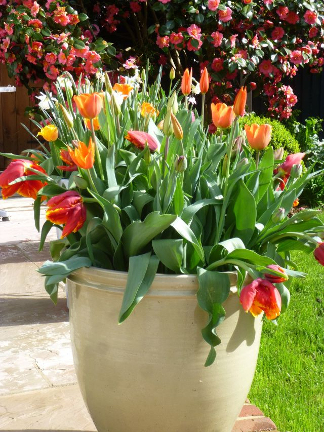 Ceramic urns filled with tulips   Spring container garden