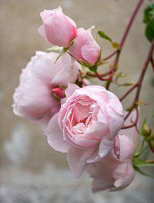 The David Austin English Rose