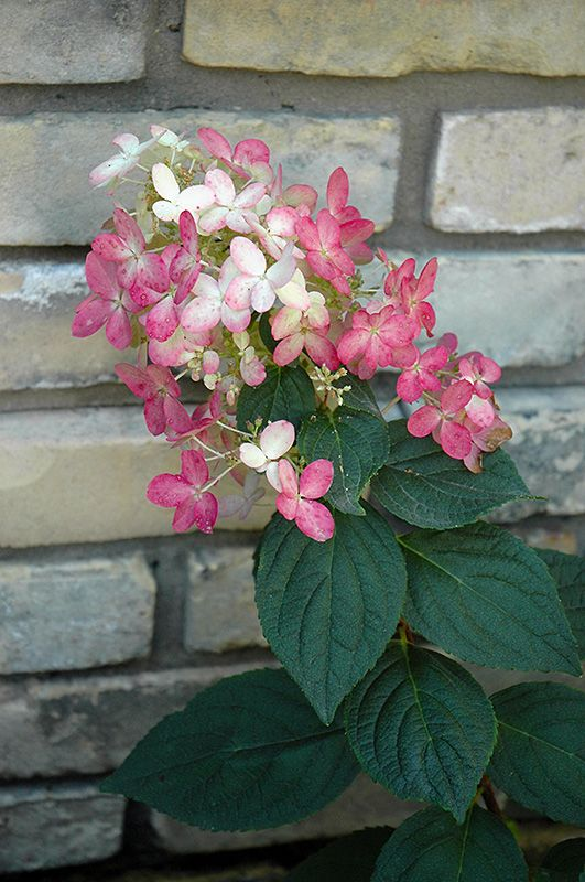Quick Fire Hydrangea (Hydrangea paniculata 'Bulk') 8ft tall, 6ft wide, longest hydrangea bloom time from early summer to late fall, full sun to full shade, perenial