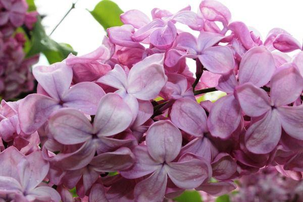 Flieder, Hyazinthen-Flieder Esther Staley: Syringa x hyacinthiflora Esther Staley: Amerikanischer Flieder im Magenta, buntes Laub im Herbst