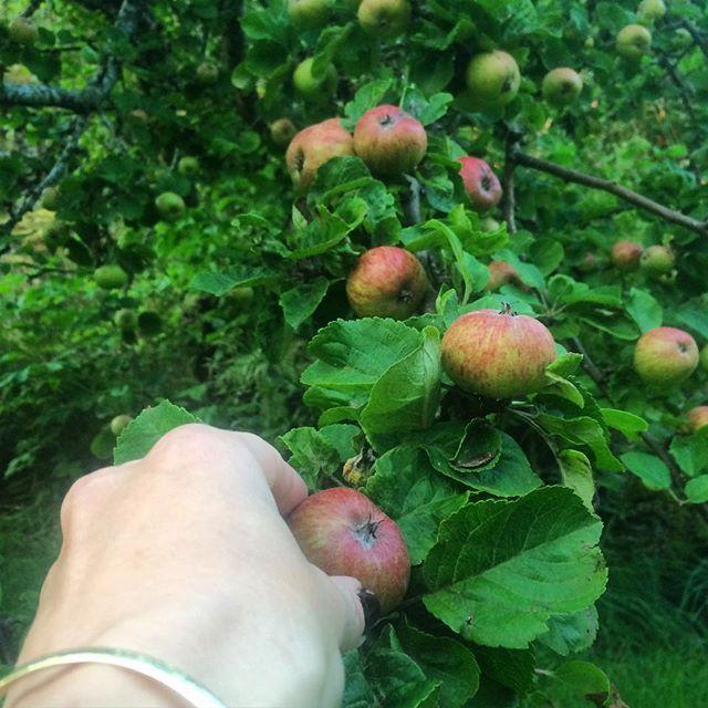 Tid for #epleslang! #gaillæppel #epler #epletre #fantastiskefosen