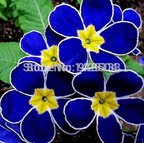High Quality 100pcs Free Shipping European Blue Primrose Seeds.Primula Malacoides Flowers Seeds.China Rare Flowers.Flora Semilla
