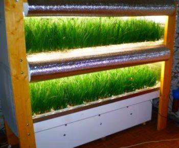 Как быстро вырастить зеленый лук?