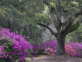 Boone Hall Plantation, near Charleston, SC.  This is a great place to visit!   Eat at The Mustard Seed not far from there!