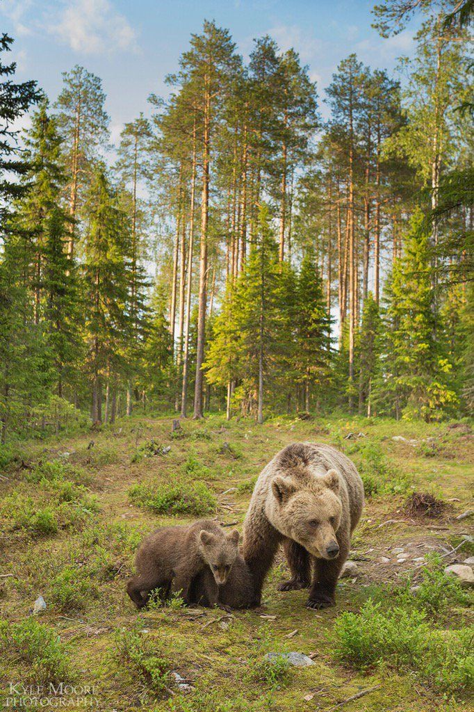 Brown bear family among their forest habitat, Finland
