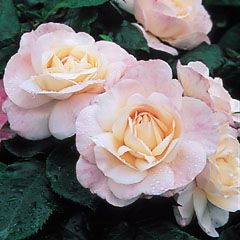 'English Miss' - David Austin Roses.  Strong sweet fragrance.