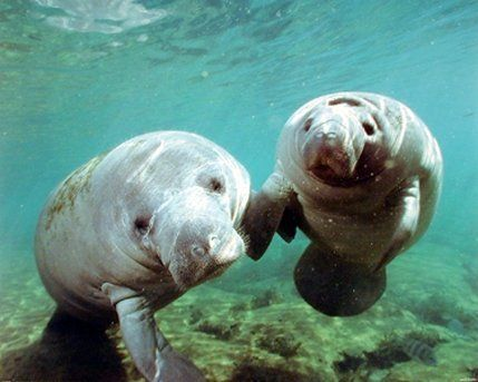 Brighten up any place with this stunning wall poster which depicts the image of pair of cute manatee Doug Perrine looking very adorable that is sure to make a beautiful statement to your decor style. You'll definitely enjoy viewing this poster into your wall. This wall poster is uniquely created with technique that ensures the better quality product with perfect color accuracy which offers long-lasting beauty to your home.