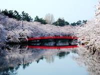 Cherry Blossoms at Hirosaki Park. / 各地の桜の名所へのツアー、予約始まってます!写真は弘前城(弘前公園・青森)の桜並木。雪が残る岩木山を背に、ソメイヨシノ、枝垂桜まなど2600本が咲き乱れます。城もほとんどの部分が往時のまま残っていて、夜桜も非常に美しい!