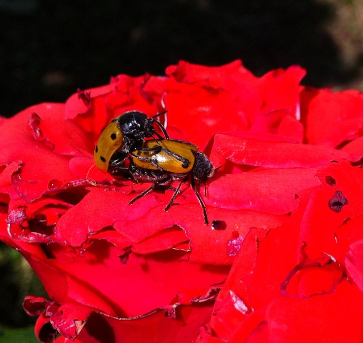 Making love on a rose!