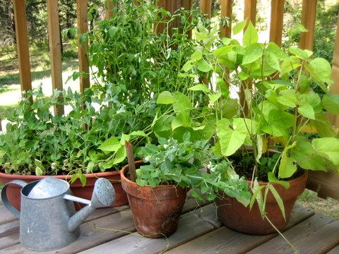 11 Fruits and Vegetables You Can Grow in a Pot: Green Thumb, Can, Fruits And Vegetables, Container Vegetable, Plants Gardening, Container Gardening, Hortalizas Urbanas