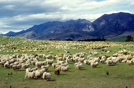 There are presently around 9 sheep to every 1 human in New Zealand