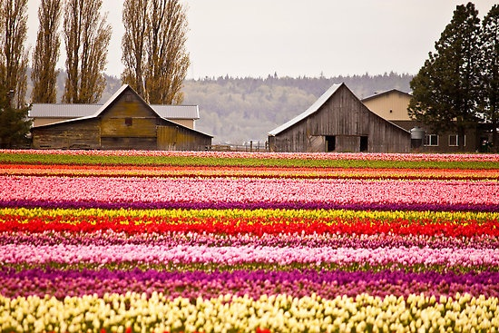Lovely field of flowers: Child Law, Flowers Gardens, Fields Of Flowers, Beautiful Barns, Skagit Valley, Famous Barns, Tulip Festivals, Valley Tulip, Barns Stables