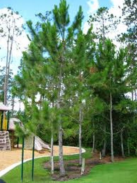 Loblolly Pine Tree Cluster Common Tree Choices