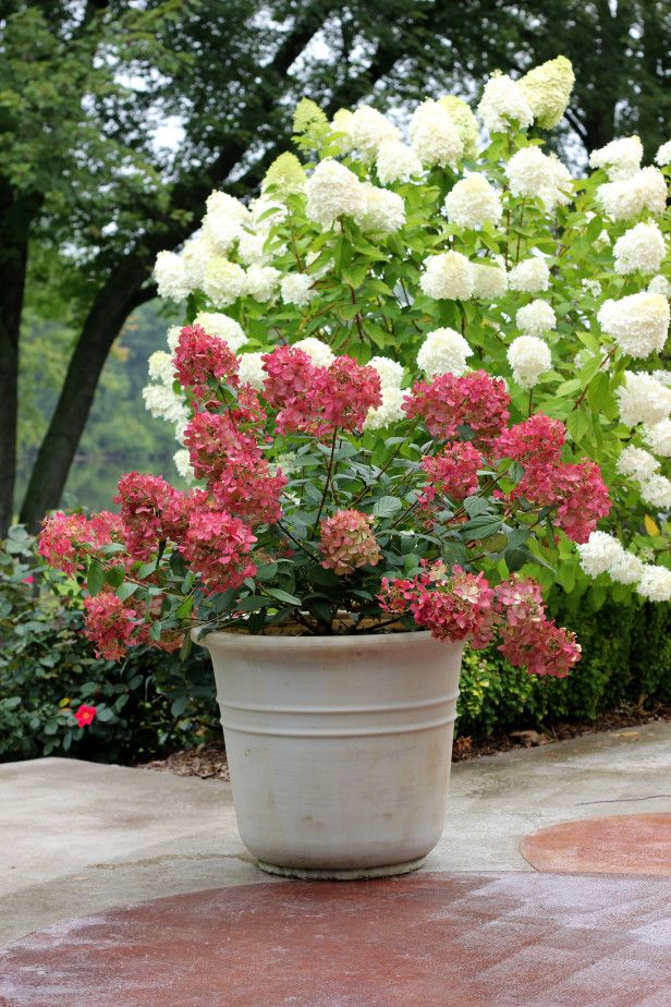 Hydrangea 'Fire Light' will become the new standard to measure all hardy hydrangeas against. Upright panicles are packed with florets that transform from pure white to rich pomegranate-pink. Its thick, sturdy stems look just as great in containers as they do in the garden. 'Fire Light' will reach nearly 3 feet in height, and is hardy to zone 3.