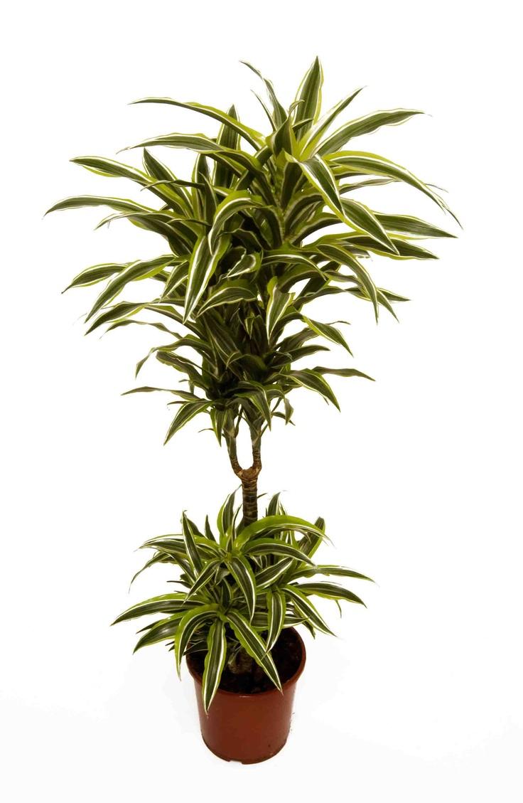 dracaena lemon lime 2 plants per pot version lovely colourful plant but does - Office Plants