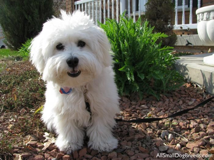 cutie.   + hypoallergenic, no wet dog smell, happy, eager to please  - daily brushings, baths once a week