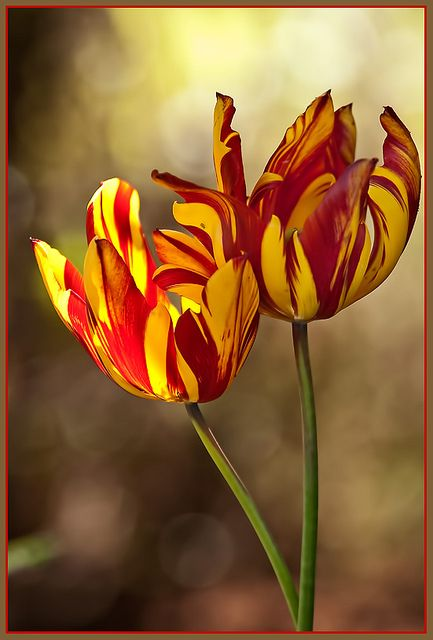 https://flic.kr/p/7ZuVKi | Fire Touched Tulips | So many beautiful colours and paterns in the tulips all over Victoria.  Thought these, just catching the sun, particularly eye-catching.  View Large On Black