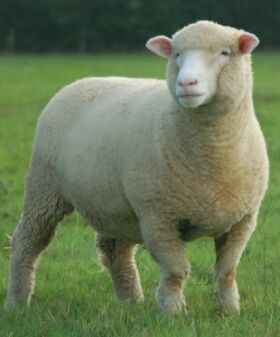 polled dorset ewe, one of my favourite sheep!