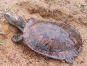 Eastern saw shelled turtle - Freshwater turtles | NSW Environment & Heritage