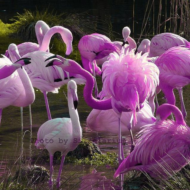 Violet flamingos.  Oh, so pretty!  What did they eat to produce that color if eating a diet of shrimp produces the characteristic pink color?