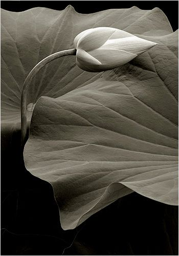 Lotus Flower - Bud_IMG_0409 by Bahman Farzad, via Flickr