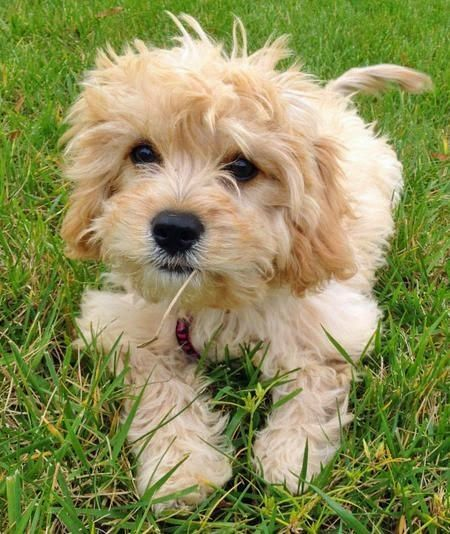Bichon Frise is a small sized dog breed native to France.The are often misunderstood as Maltese dogs due to the similar appearance.Bichin Frise are playful dogs and can be a long term affectionate playmate for children.