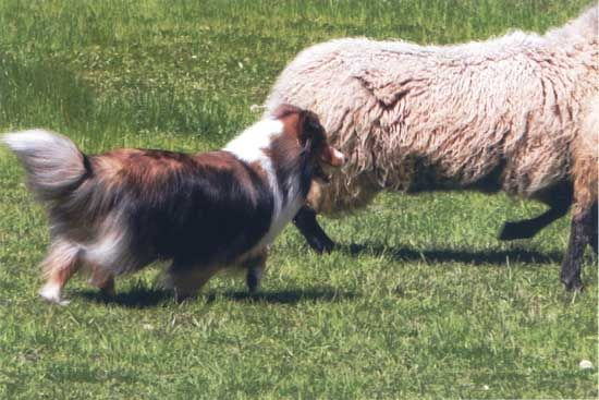Sagebrush Shelties: Ch Janelle: Sheepdog, Sagebrush, Beautiful Pet, Shelti, Janell Work, Hard, Pastoral Scenes, Beautiful Creatures, Ch Janell