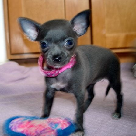 Blue Teacup Chihuahua Blue Teacup Chihuahua Puppies For