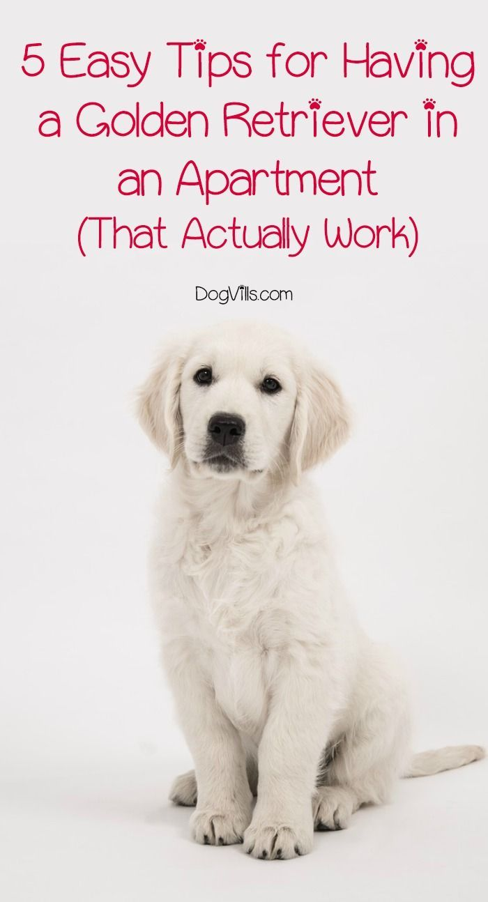 48 best golden retrievers images on pinterest doggies golden a golden retriever in an apartment can it really work sure it can nvjuhfo Choice Image
