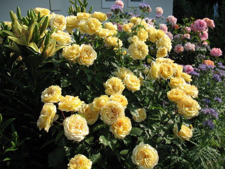роза Sophia Renaissance: 4 тыс изображений найдено в Яндекс.Картинках