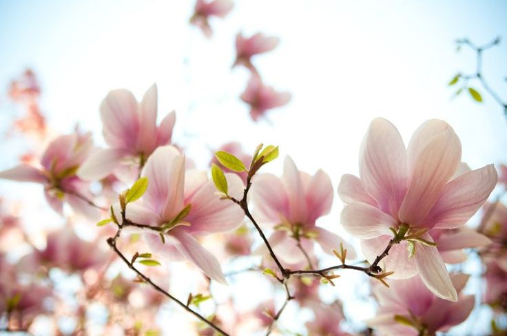 Like Gorgeous White Flowers? Try Some Magnolia Trees and Shrubs