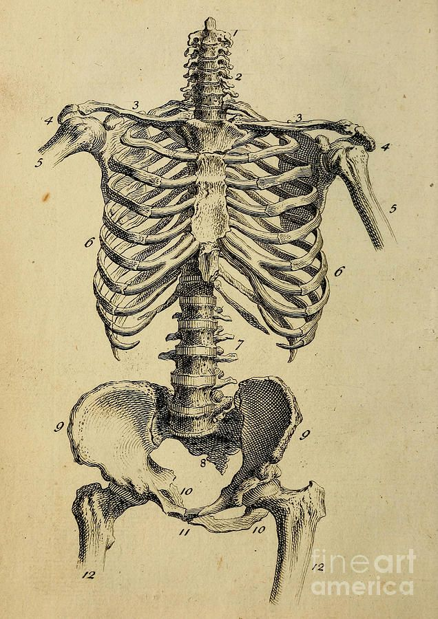 Rib Cage Bone Diagram Waterfall Process Human Skeleton Anatomy Note World Www Anatomynote Com