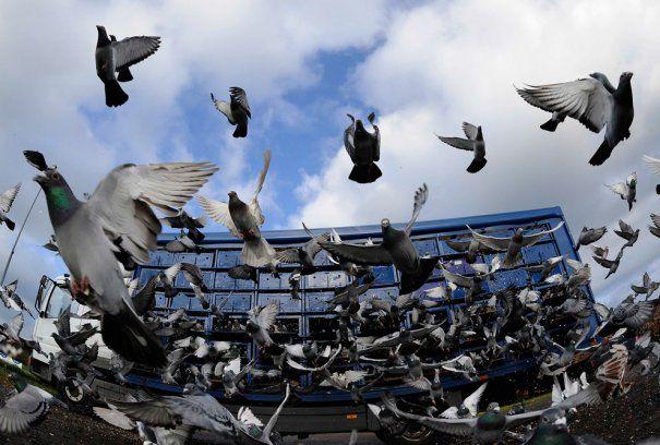 Гоночные голуби начинают свой путь из Алнвика в свои дома через Йоркшир и Хамберсайд, Англия.