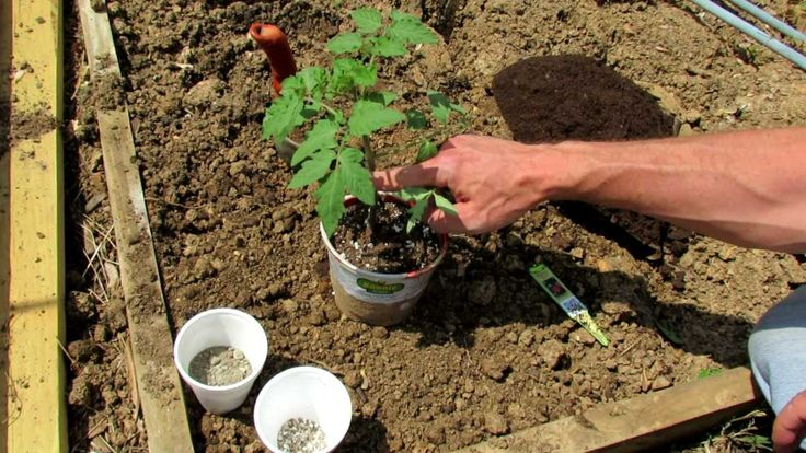 1 of 5: How to Easily Transplant a Tomato into the Vegetable Garden