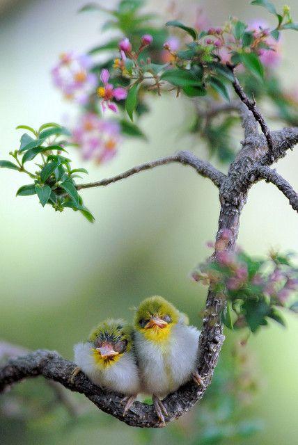 綠繡眼 Japanese White-eye