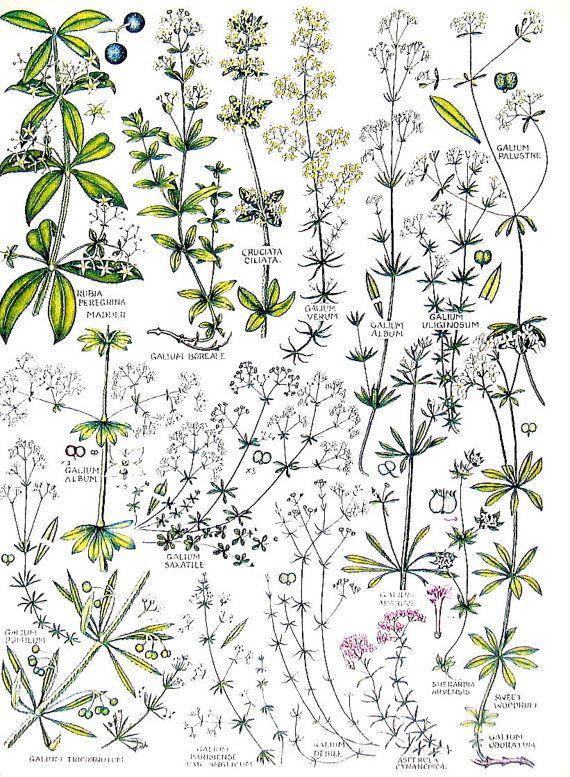 British Flowers  Wild Madder Northern by mysunshinevintage on Etsy, $10.00