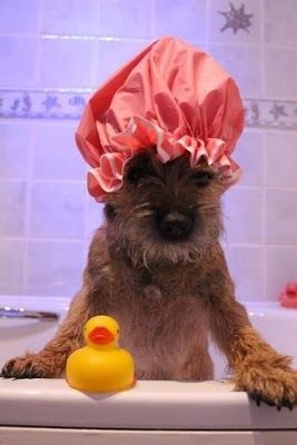 "Border Terrier In The Bath / pets and ""fashion"""