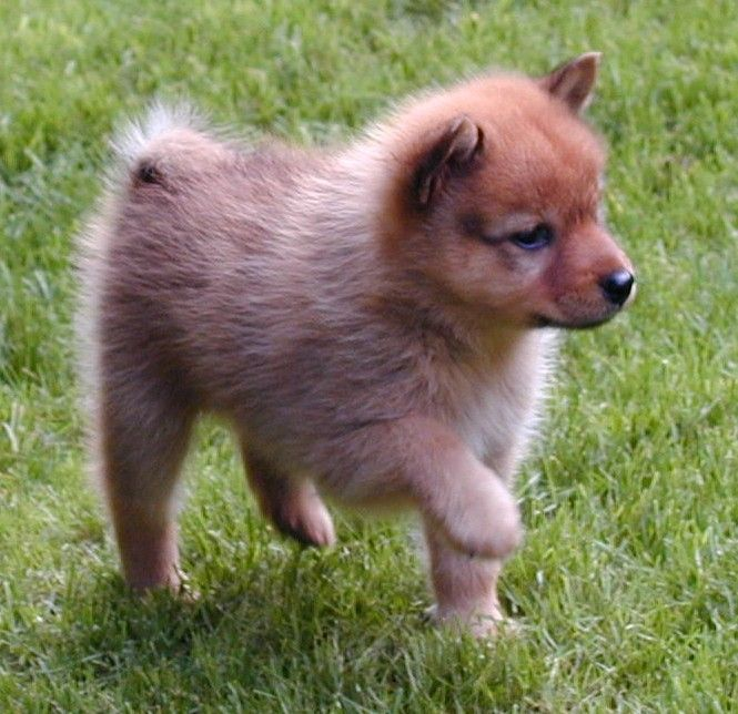 Finnish Spitz Puppy, think I found our next family dog, best thing there is a breeder less than an hour away from us!