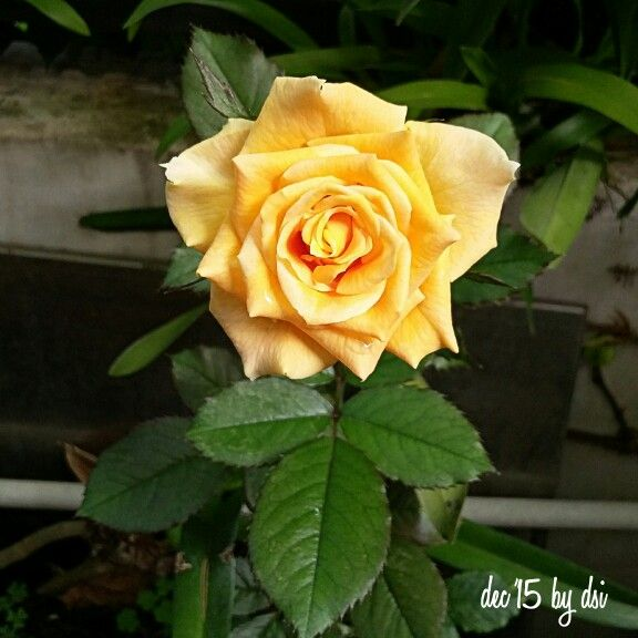 Hello yellow rose...