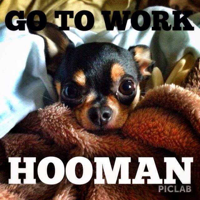 I needs my beauty sweep. #chihuahua #chihuahuas #chihuahualove #dogs #dogstagram #dogsofinstagram #workflow #werk